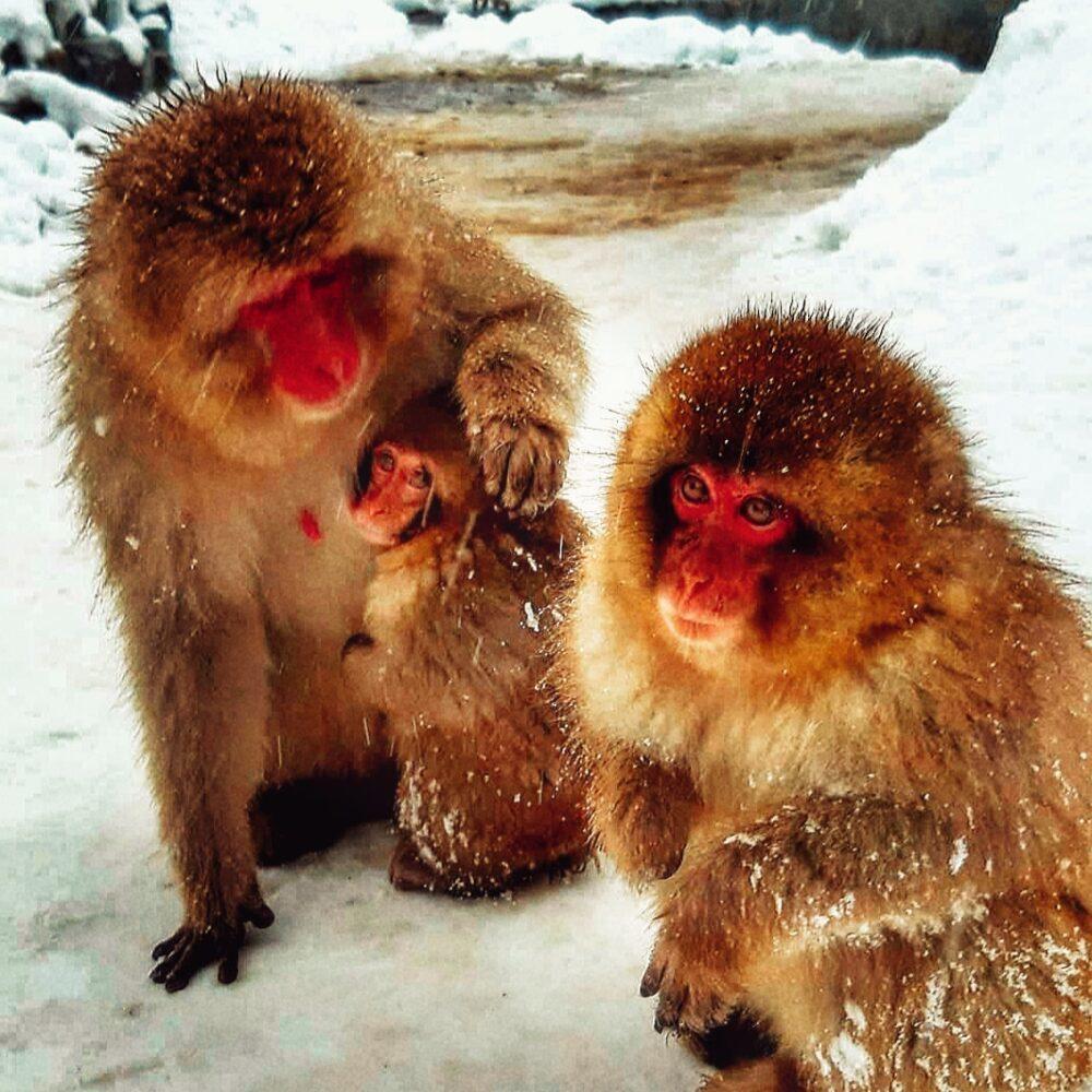 Monos en nieve en Japon
