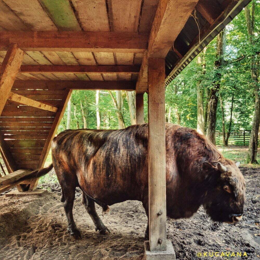 Parco nazionale del bisonte europeo in Polonia
